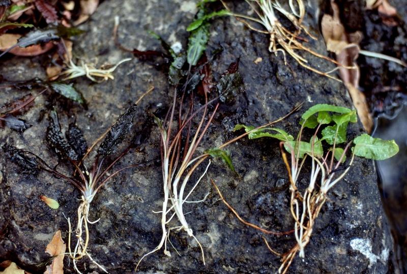 подводные листья Cryptocotyne wendtii